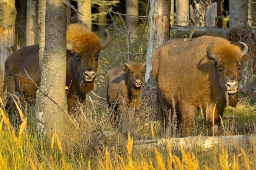 bison-1800x1196